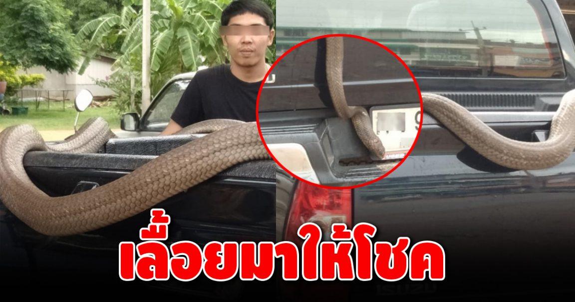 งูจงอางยักษ์ เลื้อยพาดหลังกระบะ ถูกใจบรรดานักเสี่ยงโชค