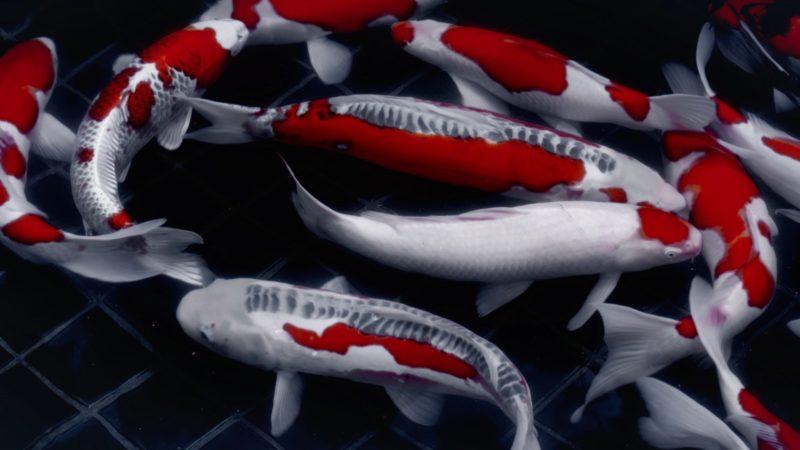 ฝันเห็นปลาคาร์พหมายถึงอะไรกันนะ