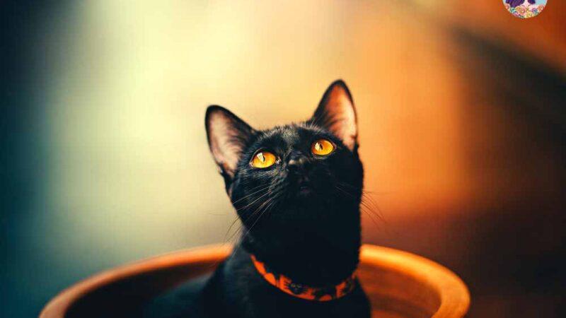 ฝันเห็นแมวดำ ลางร้ายหรือดีกันแน่?
